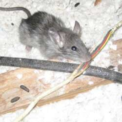 wire damage from rodent