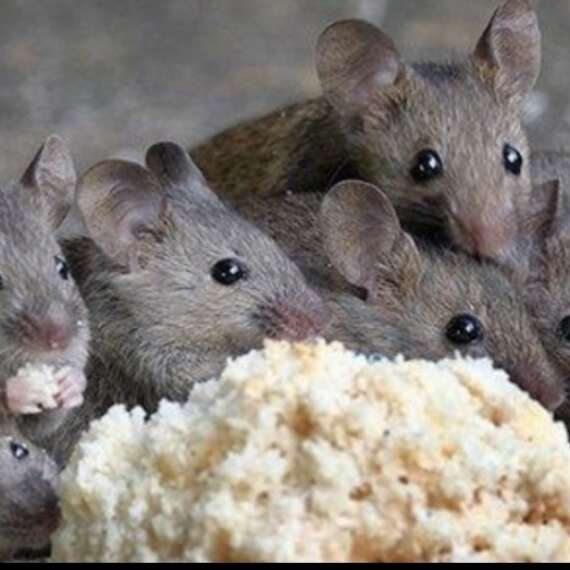 family of rodents